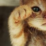 矇面加菲貓